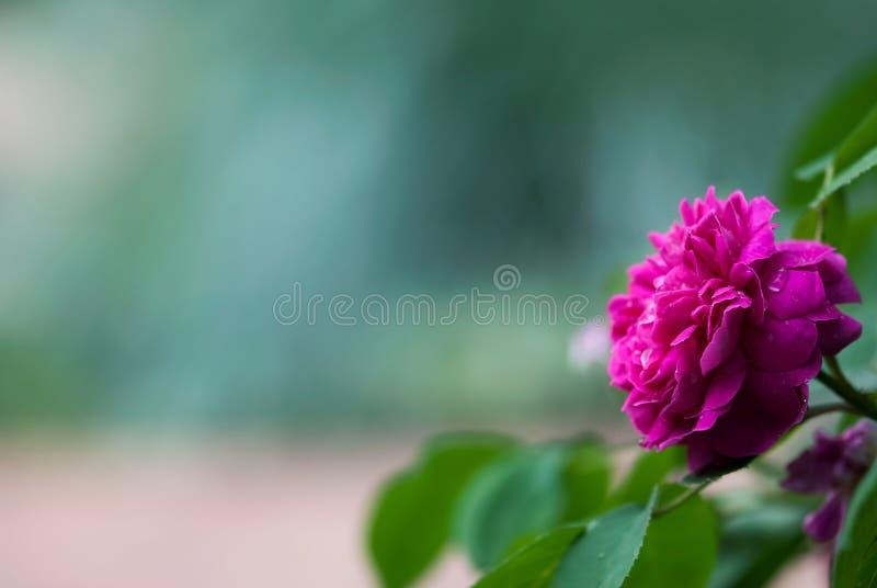 Mörka rosa Rose Against Blue Green Background royaltyfri fotografi