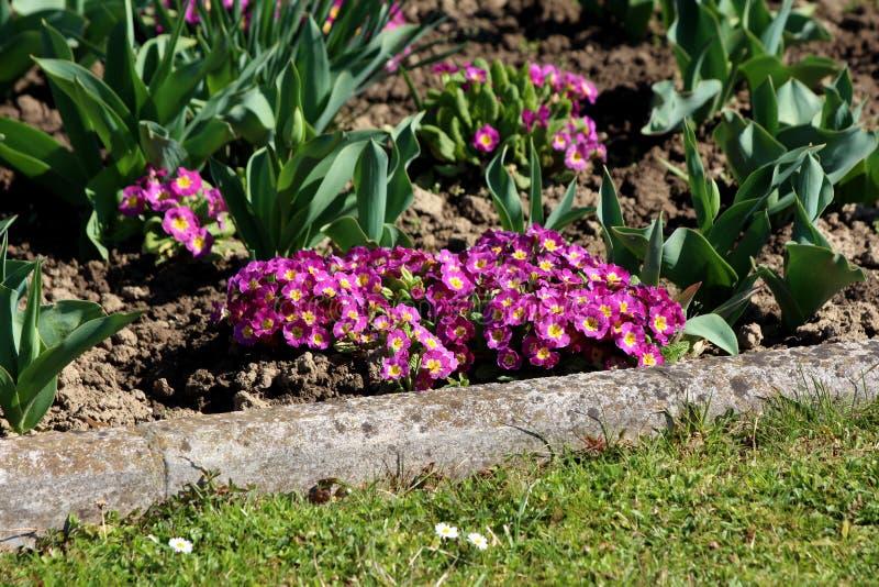 Mörka rosa vulgaris små blommor för primula eller för primula med den gula mitten som omges med sidor för torr jord som och tulpa arkivfoto