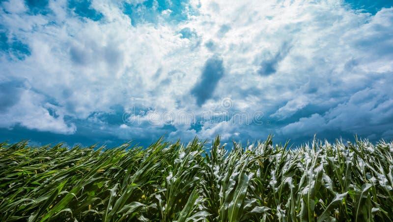 Mörka stormiga moln över grönt kornfält royaltyfria bilder
