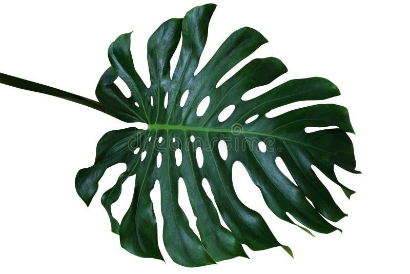 Mörker - grönt tropiskt blad av den Monstera deliciosaen, dela-bladet p royaltyfri foto