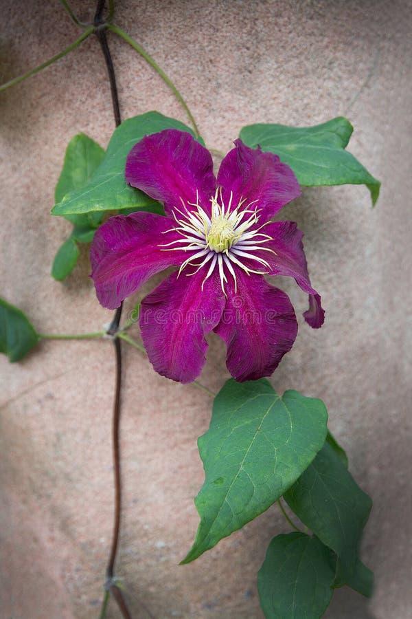 Mörker - röd blomma för purpurfärgad klematis fotografering för bildbyråer