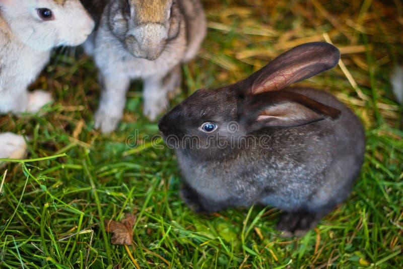 Mörkt - grå kanin som sitter i en bur på lantgården royaltyfri fotografi