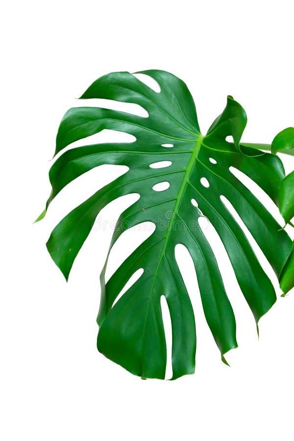 Mörkt - gröna sidor av monstera- eller splittringbladphilodendronen den tropiska lövverkväxten som isoleras på vit bakgrund royaltyfri foto