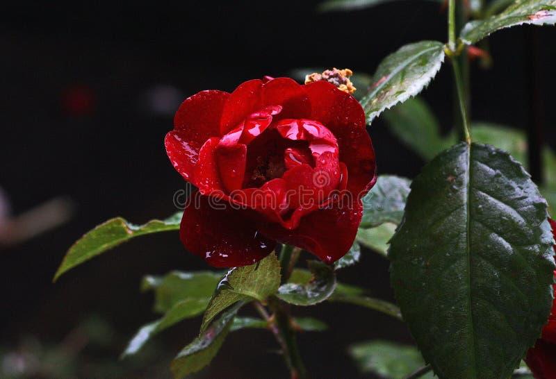 Mörkt - röd ros som är våt i hällregn royaltyfri foto