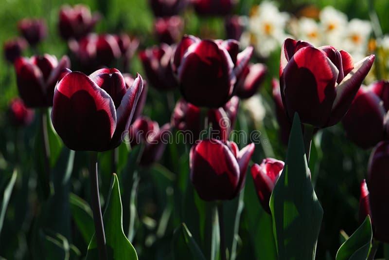 Mörkt - röda eller violetta tulpanblommor med vita kanter, den hybrid- sorten kallade den Fontaine Bleau eller Triumph tulpan royaltyfri bild