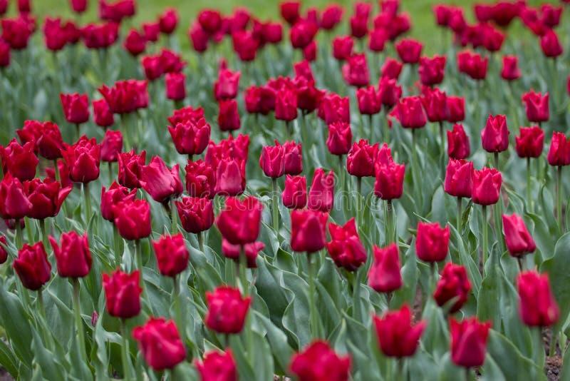 Mörkt - röda knoppar av tulpan på en bakgrund av gröna sidor royaltyfri fotografi