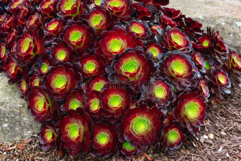 Mörkt - röda suckulenter Aeonium Urbicum, Sempervivum Arachnoideum rödhake arkivbild