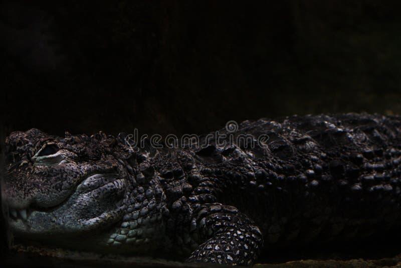 Mörkt skott för krokodilnärbild royaltyfri foto