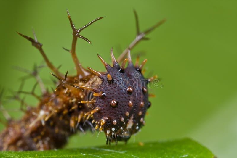 mörkt spiny för brun caterpillar arkivbilder
