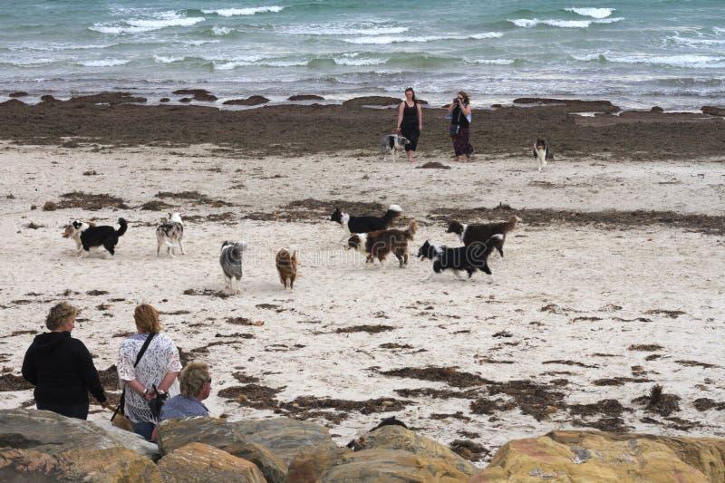 Möte av border collie hundkapplöpning och ägare på en australisk strand, blåsig dag royaltyfria foton