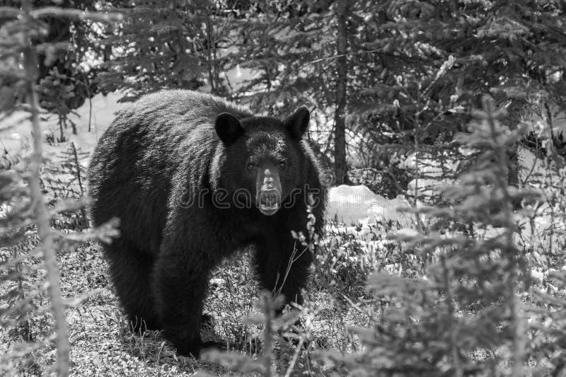 Möte för svart björn fotografering för bildbyråer