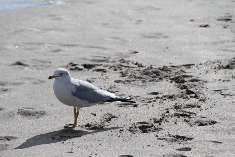 Möve auf dem Strand lizenzfreie stockbilder