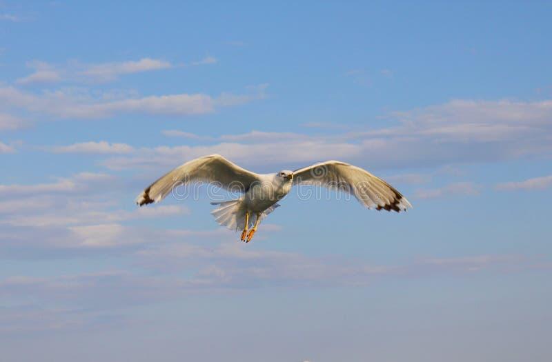Möve im Flug in den Wolken lizenzfreies stockfoto