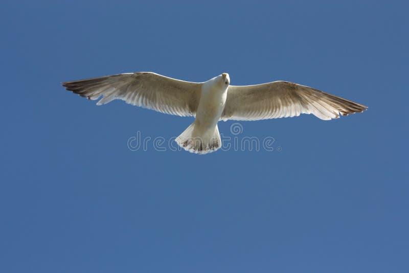 Möve mit ausgebreiteten Flügeln stockfotografie