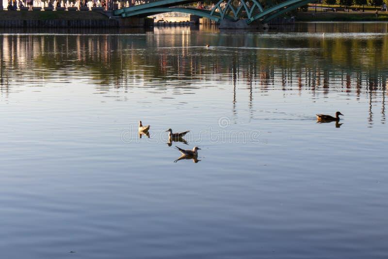 Möven schwimmen im Teich Eine Ente schwimmt nahe den Seemöwen auf dem See stockfotografie