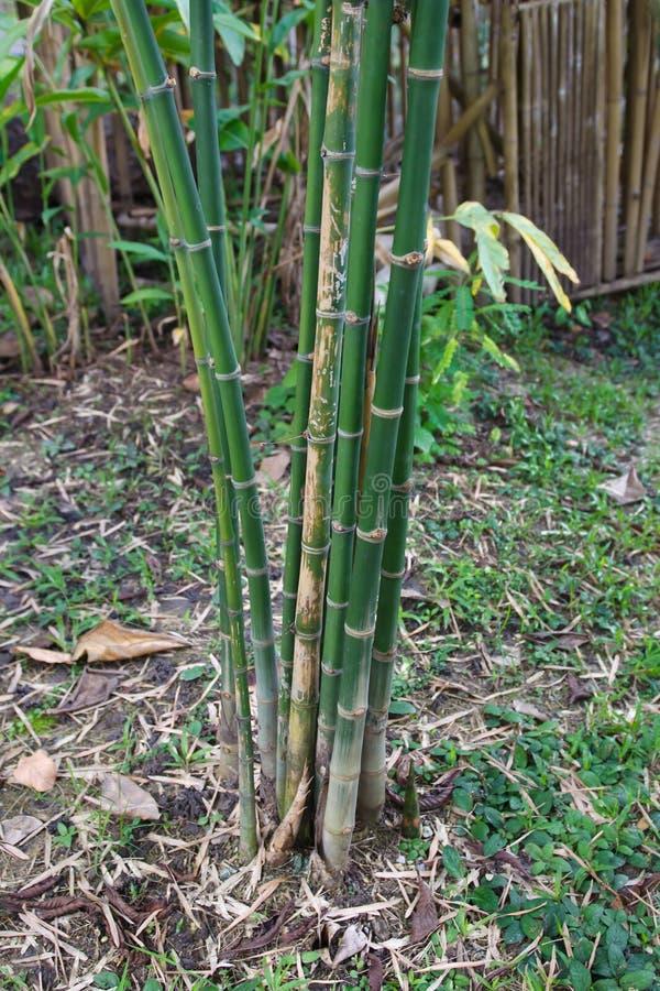 Múltiplex de bambú del árbol o del Bambusa y x28; Lour y x29; fotografía de archivo