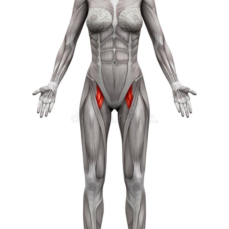 Músculo Breve Y Aductor Aductor De Longus - La Anatomía Muscles La ...