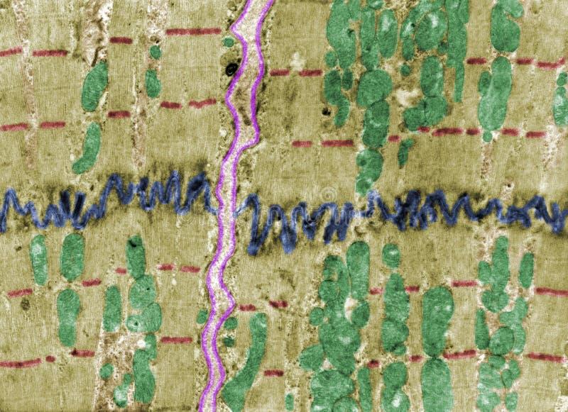 Músculo cardíaco, TEM foto de archivo libre de regalías