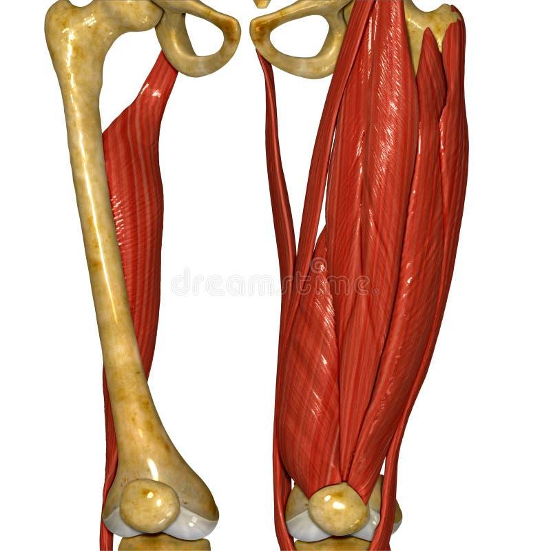 Músculo da coxa ilustração royalty free