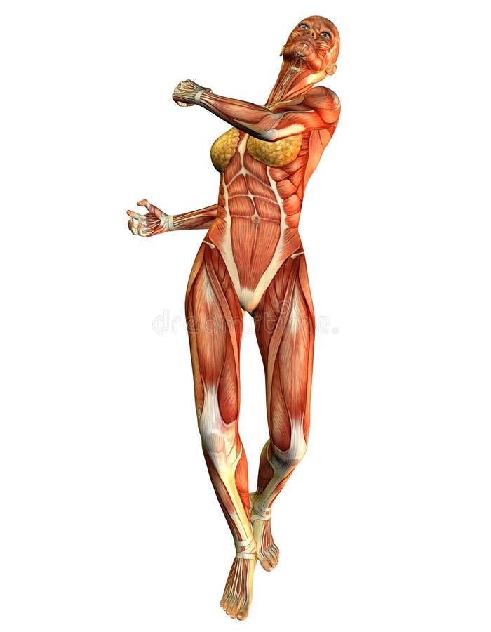 Músculo da mulher do estudo de movimento ilustração royalty free