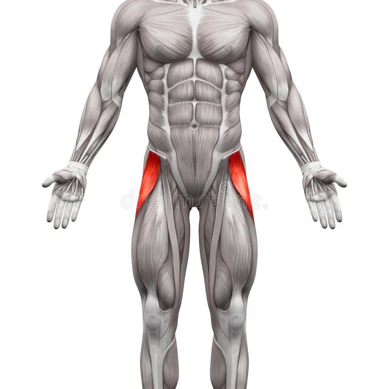 Músculo de Latae das fáscias do Tensor - músculos da anatomia isolados no branco ilustração royalty free