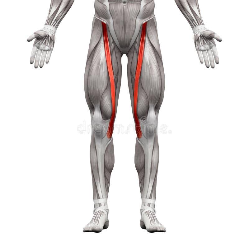 Dorable Diagrama De Músculos Anatomía Bandera - Anatomía de Las ...