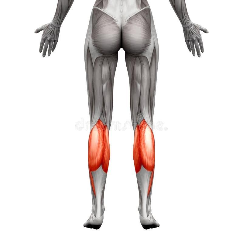 Músculo del becerro - Gastrocnemius, músculo plantar de la anatomía - o aislado stock de ilustración