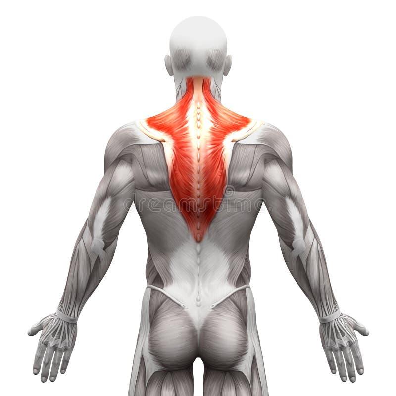Músculo Del Trapecio - Músculos De La Anatomía Aislados En Blanco ...