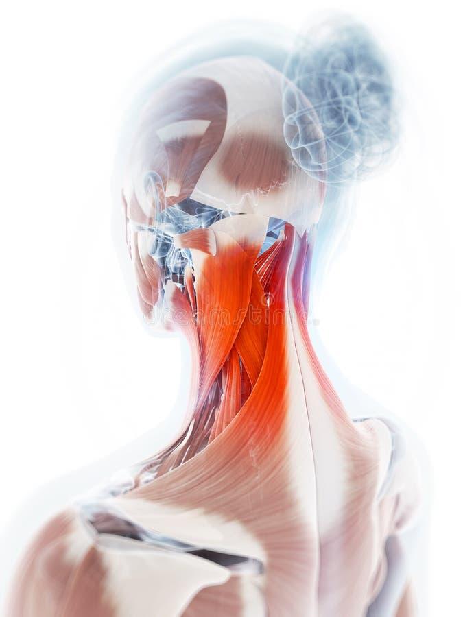 Músculo destacado do pescoço ilustração royalty free