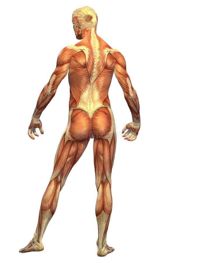 Músculo do corpo humano - parte traseira do macho ilustração do vetor