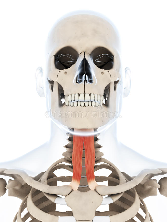 Músculo Esternocleidomastoideo Destacado Stock de ilustración ...
