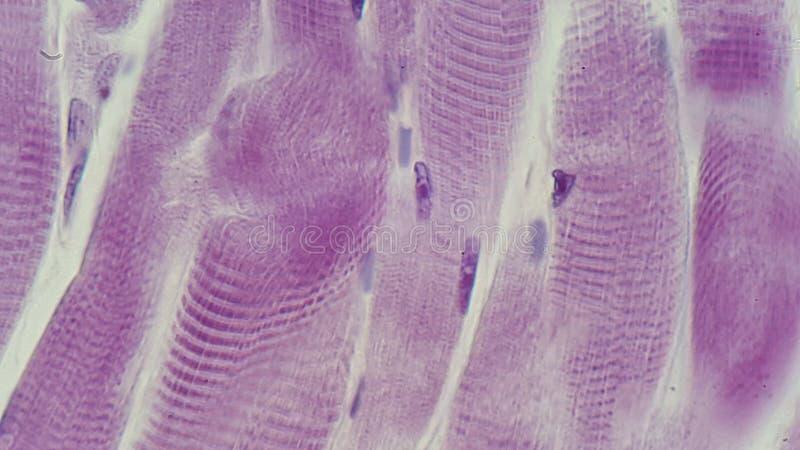 Músculo estriado da microfotografia foto de stock royalty free