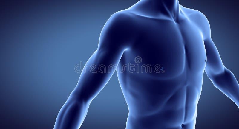 Músculo humano ilustração royalty free