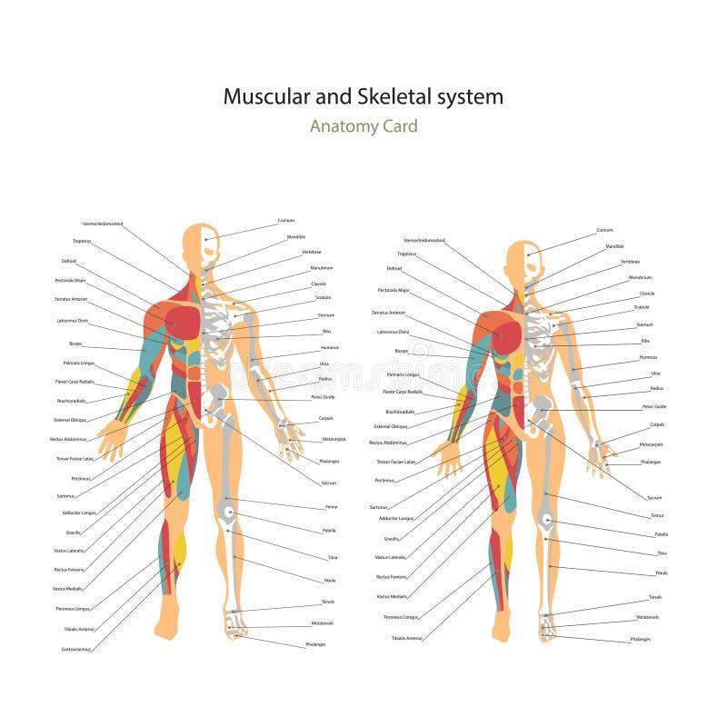 Músculo masculino e fêmea e cartas de sistema ósseas com explicações Guia da anatomia da fisiologia humana imagem de stock royalty free
