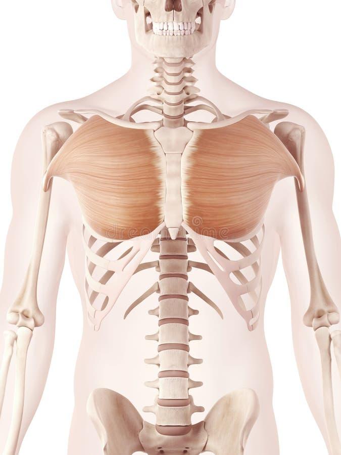 Músculo pectoral mayor stock de ilustración. Ilustración de músculo ...