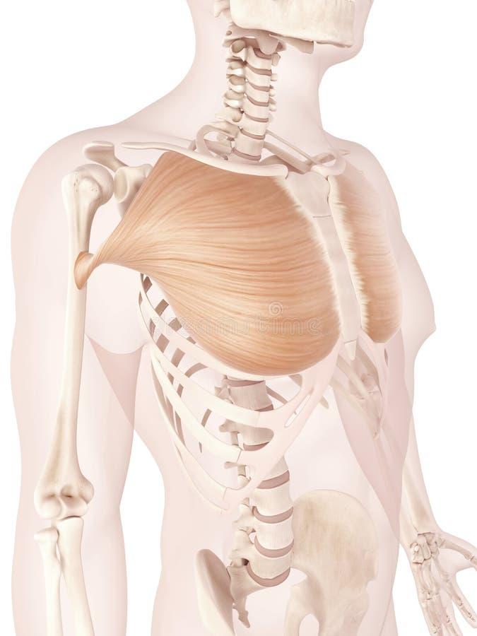 Músculo pectoral mayor stock de ilustración. Ilustración de ...