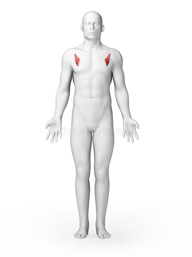 Músculo pequeno do peito ilustração stock