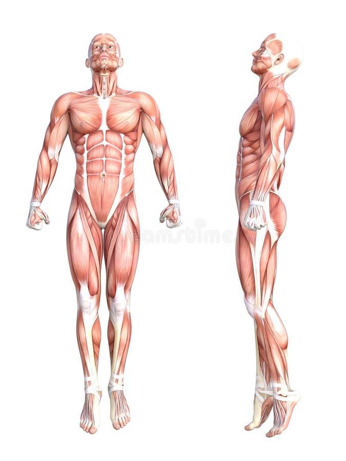 Músculo sin piel sano del cuerpo humano de la anatomía stock de ilustración