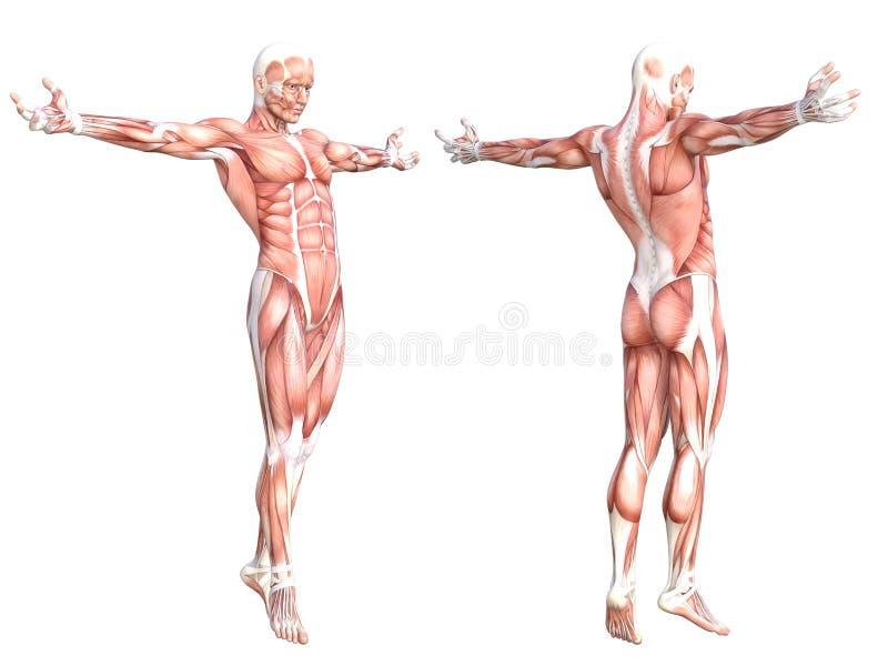 Músculo sin piel sano del cuerpo humano de la anatomía ilustración del vector