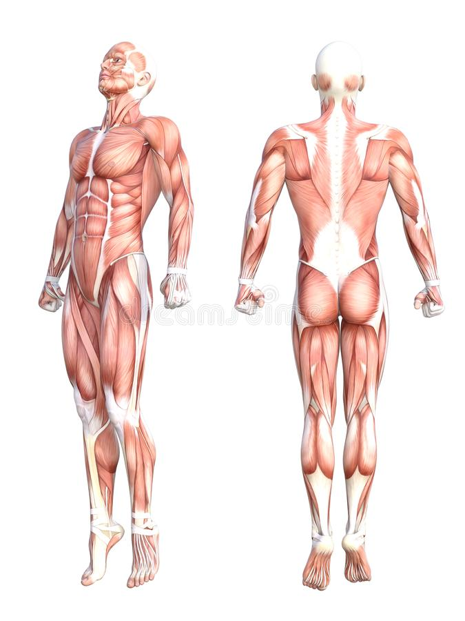 Músculo sin piel sano del cuerpo humano de la anatomía libre illustration