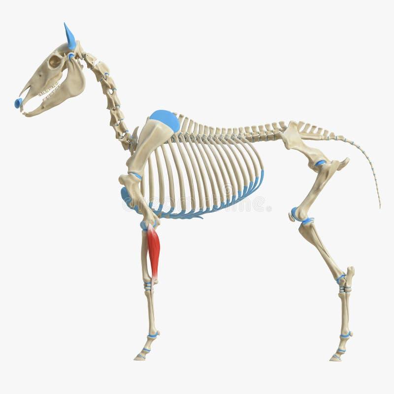 Músculo Ulnar lateral ilustração stock