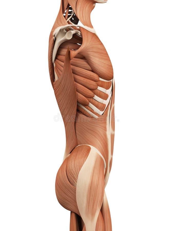 Músculos abdominais ilustração royalty free