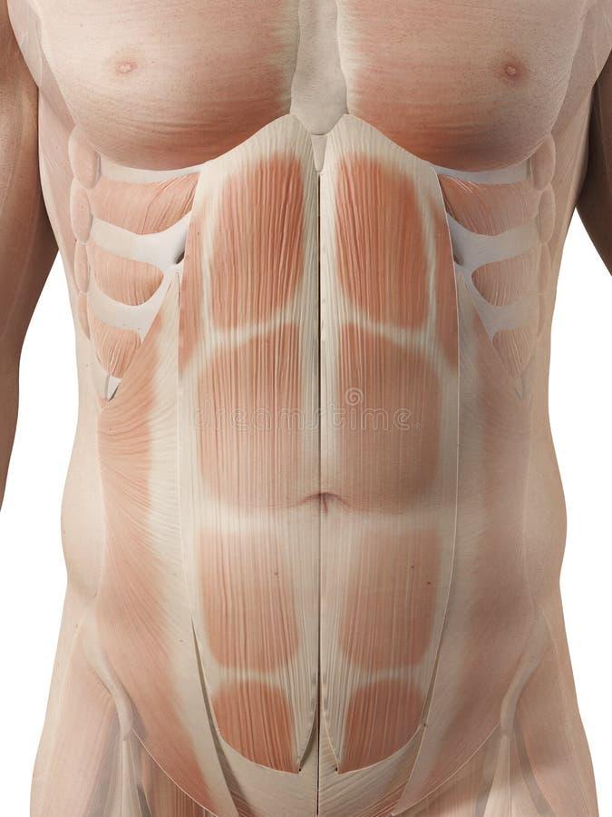 Músculos abdominais masculinos ilustração do vetor