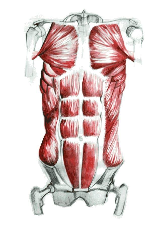 Músculos abdominales ilustración del vector. Ilustración de cabo ...