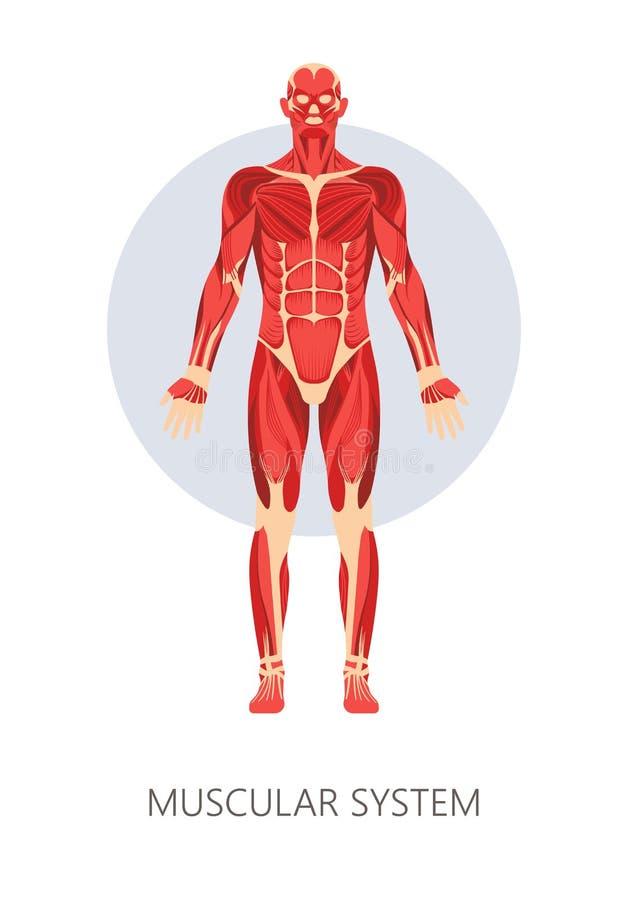 Músculos aislados sistema muscular de la anatomía del cuerpo humano libre illustration