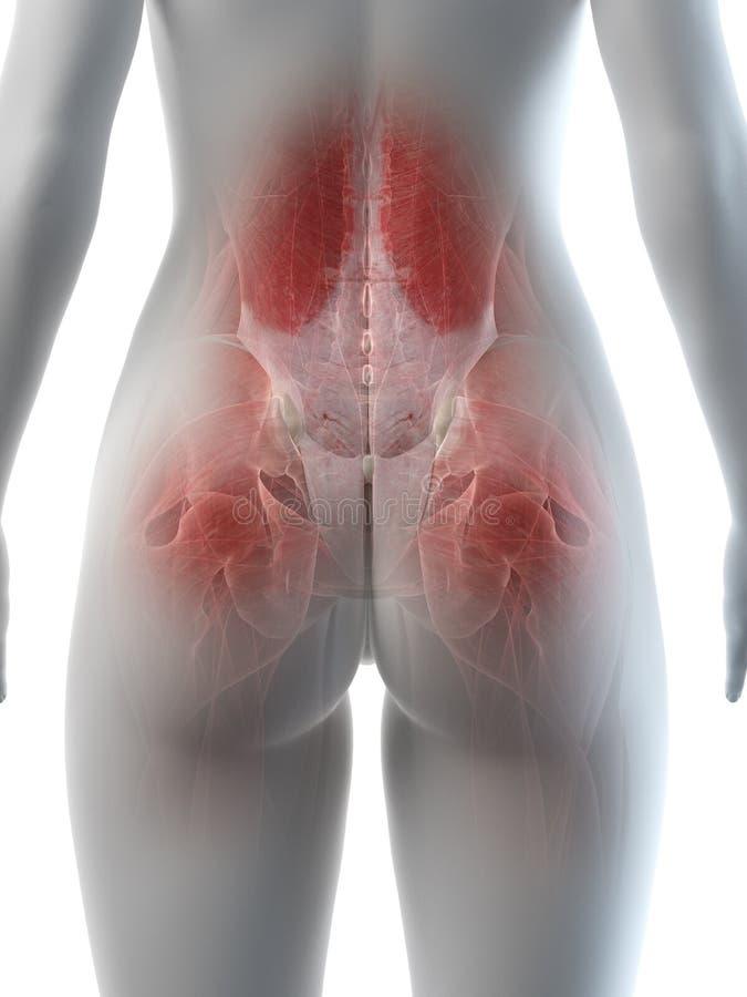 Músculos ancas das fêmeas ilustração stock