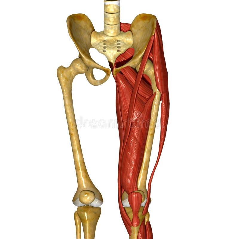 Músculos da coxa ilustração stock