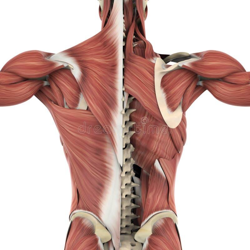 Músculos de la anatomía trasera ilustración del vector