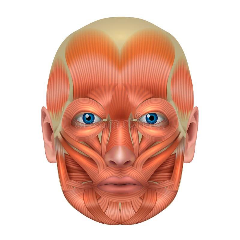 Músculos de la cara ilustración del vector. Ilustración de circular ...