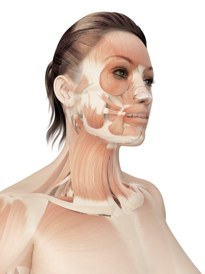 Músculos de la cara stock de ilustración. Ilustración de hembra ...
